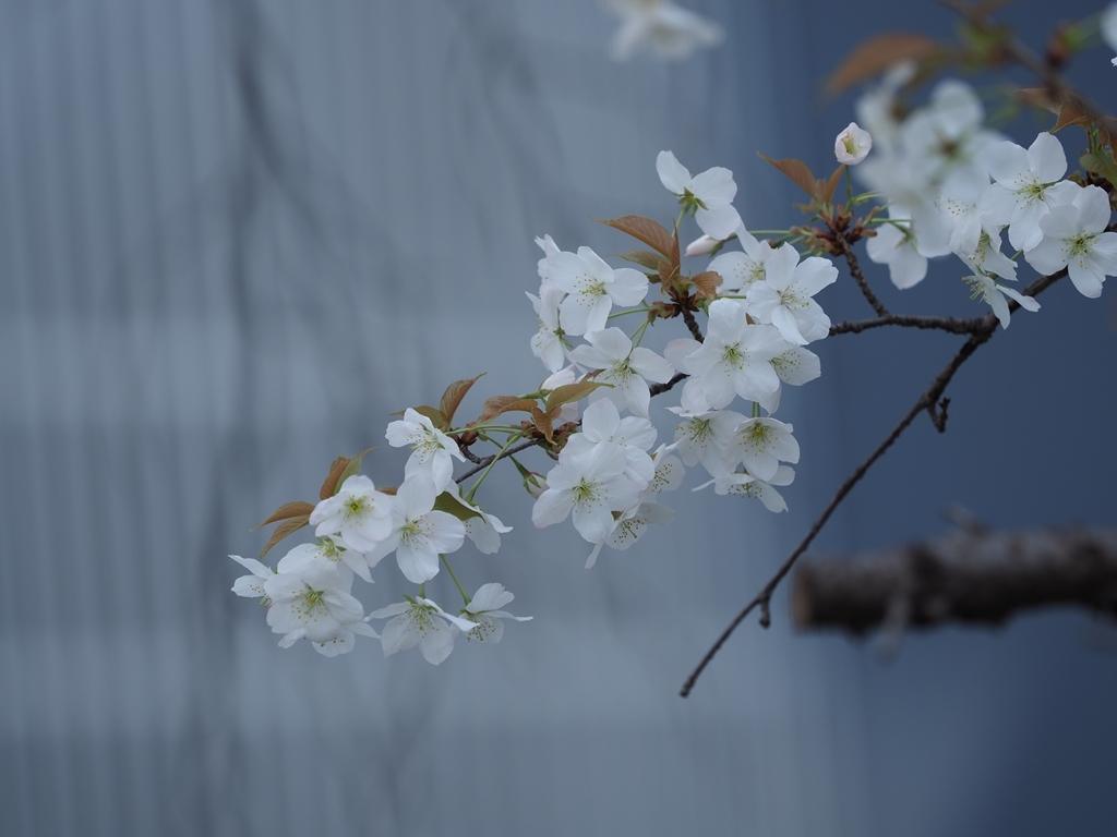 桜追っかけ 千鳥ヶ淵の山桜_f0224100_11472435.jpg