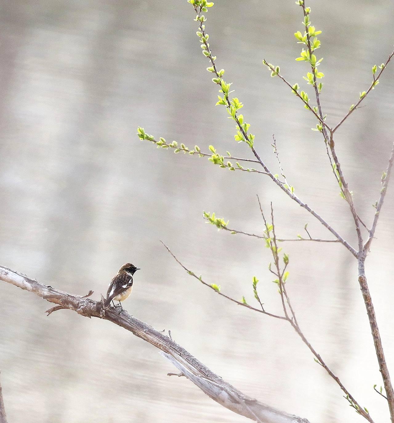 春の渡りのノビタキ♂に出会った・・・_c0213607_22130179.jpg
