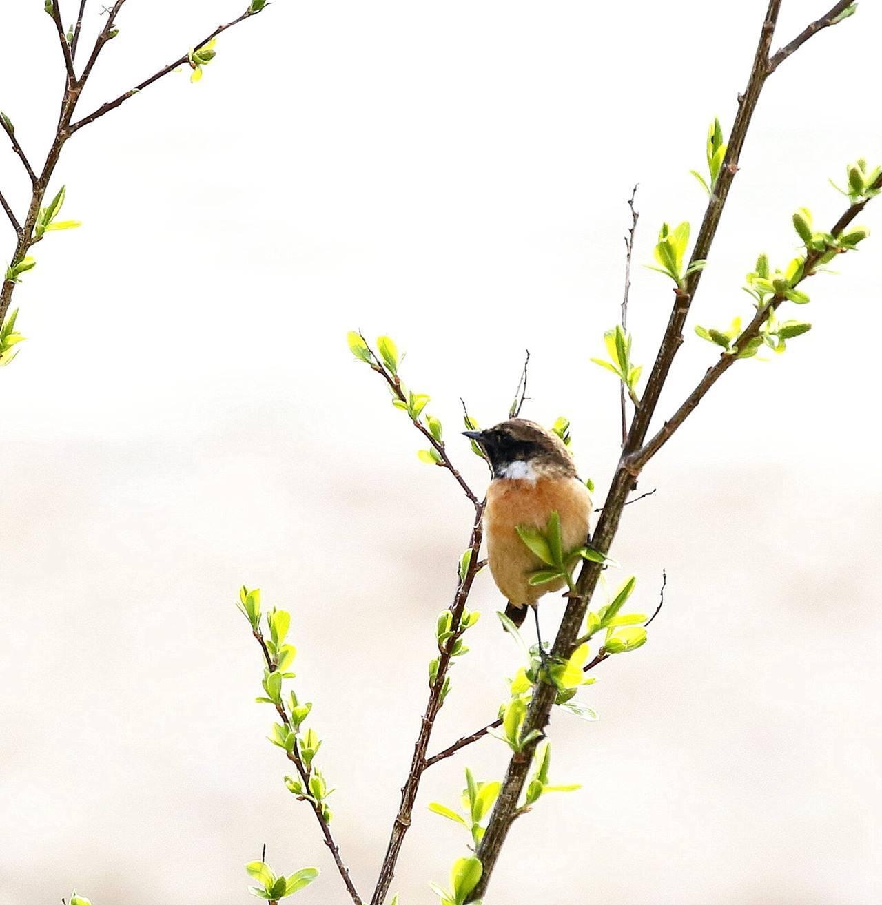春の渡りのノビタキ♂に出会った・・・_c0213607_22131748.jpg