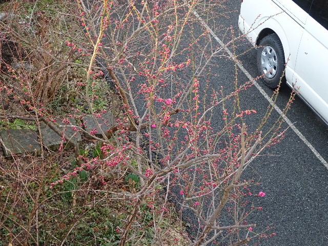 うちの事務所の梅が咲きました!_f0105112_18233512.jpg