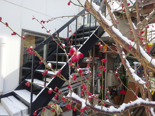 うちの事務所の梅が咲きました!_f0105112_18233566.jpg