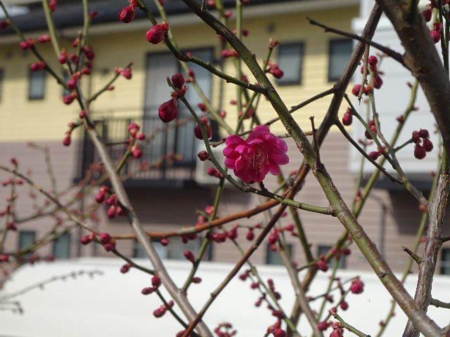 うちの事務所の梅が咲きました!_f0105112_18233643.jpg