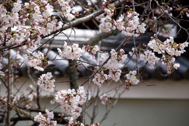 枝垂れに続いてソメイヨシノ 上品蓮台寺_e0048413_21003671.jpg