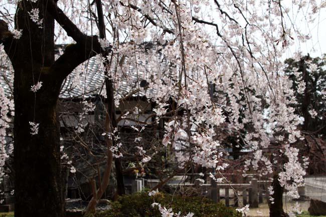 枝垂れに続いてソメイヨシノ 上品蓮台寺_e0048413_21004530.jpg