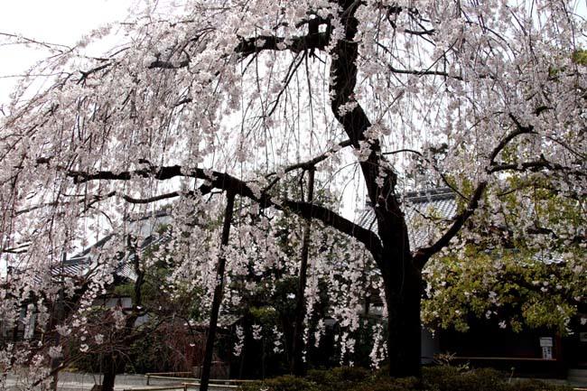 枝垂れに続いてソメイヨシノ 上品蓮台寺_e0048413_21011770.jpg