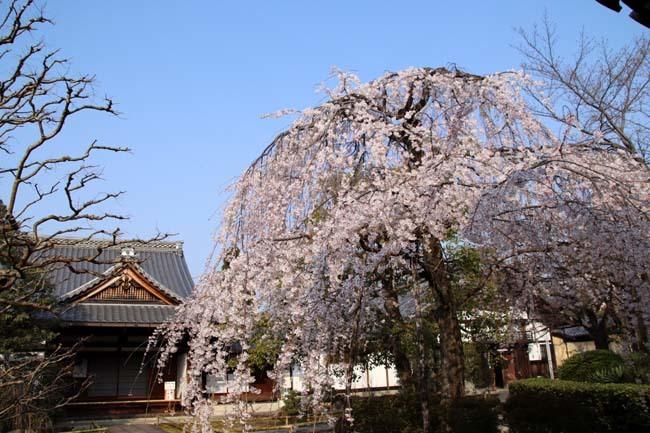 枝垂れに続いてソメイヨシノ 上品蓮台寺_e0048413_21012121.jpg