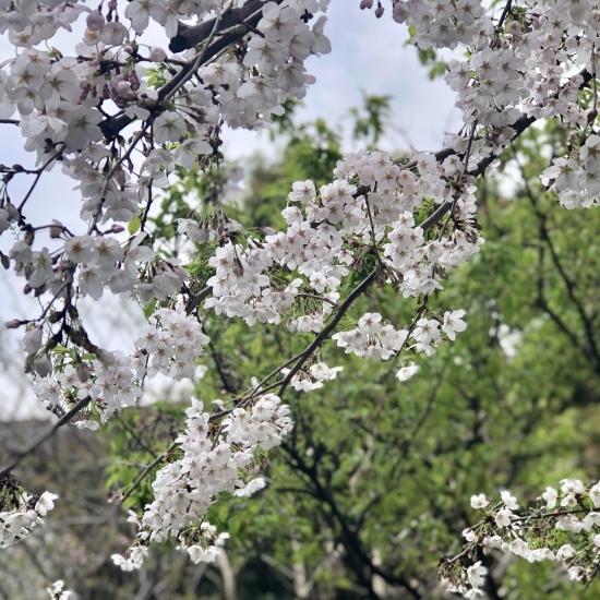 春、いちごと桜三昧♪_f0197215_18280258.jpg