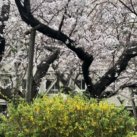 春、いちごと桜三昧♪_f0197215_18280374.jpg