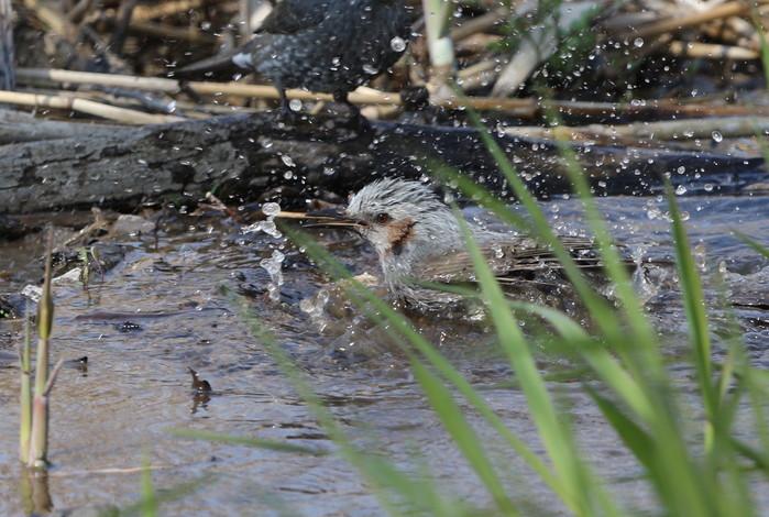 クイナの水浴び_f0239515_16364796.jpg