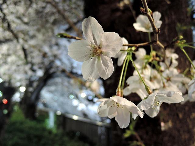 夜桜2019_c0062832_01083772.jpg