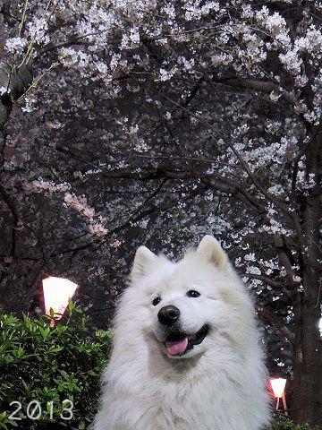 夜桜2019_c0062832_01084544.jpg