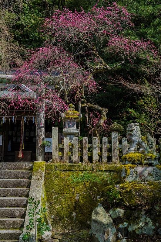 大豊神社~梅と椿_e0363038_15175640.jpg