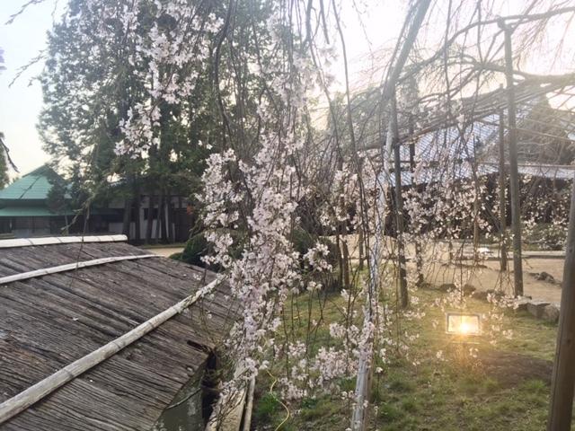 20190329 曹源寺の枝垂桜 _d0145345_22180347.jpg