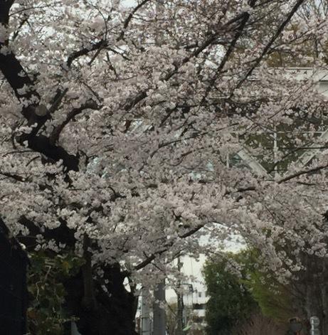 桜さくらサクラ〜。_f0372146_18264119.jpg