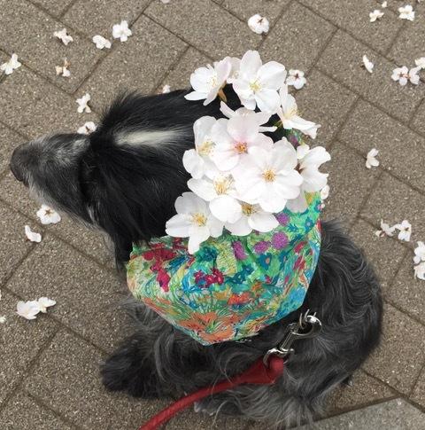 桜さくらサクラ〜。_f0372146_18265108.jpg