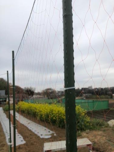 苗床ズッキーニ本葉出始めました 蚕豆の防鳥ネット張り なかなか先に進まない・・_c0222448_11485369.jpg