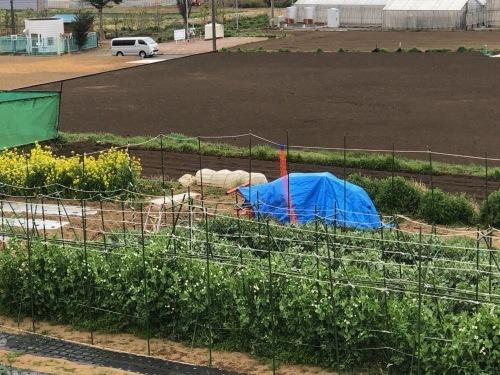 苗床ズッキーニ本葉出始めました 蚕豆の防鳥ネット張り なかなか先に進まない・・_c0222448_11491963.jpg