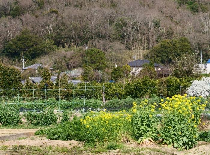 菜の花咲く里山を歩く  2019-04-05 00:00   _b0093754_23081147.jpg