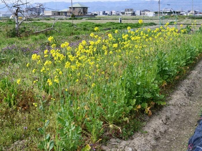 菜の花咲く里山を歩く  2019-04-05 00:00   _b0093754_23084611.jpg