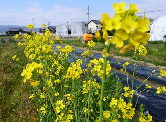 菜の花咲く里山を歩く  2019-04-05 00:00   _b0093754_23091901.jpg