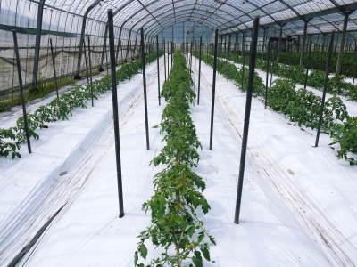 樹上完熟の朝採りトマト 平成31年度も6月上旬より出荷予定!苗床の様子とこだわりのトマトについて!_a0254656_17411062.jpg