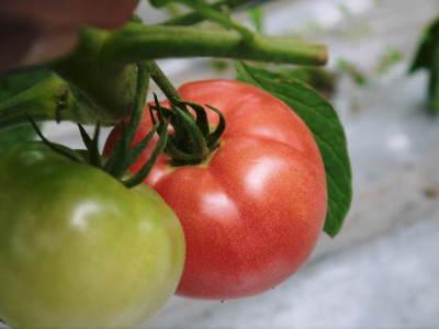 樹上完熟の朝採りトマト 平成31年度も6月上旬より出荷予定!苗床の様子とこだわりのトマトについて!_a0254656_17530987.jpg