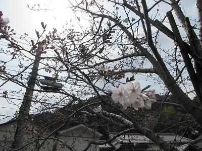 桜_f0006356_11424882.jpg