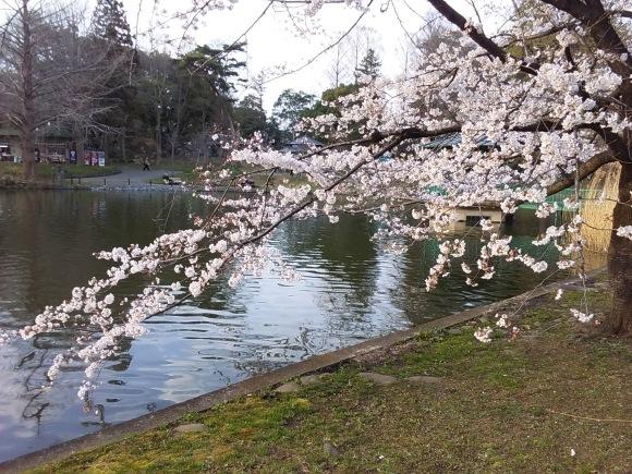 夕暮れ間近の桜風景_d0116059_20484832.jpg