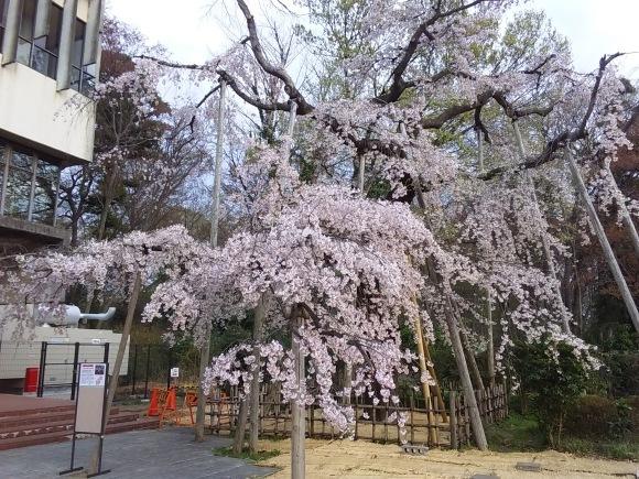夕暮れ間近の桜風景_d0116059_20535908.jpg