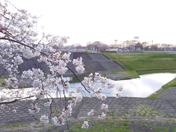 夕暮れ間近の桜風景_d0116059_20593747.jpg