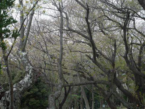 妻桜満開、夫桜は葉桜に2019夫婦桜開花情報④_c0014967_16291336.jpg