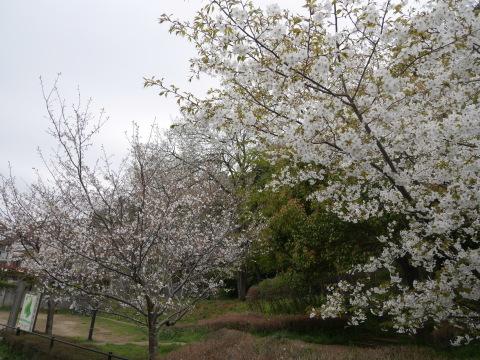 妻桜満開、夫桜は葉桜に2019夫婦桜開花情報④_c0014967_16301785.jpg