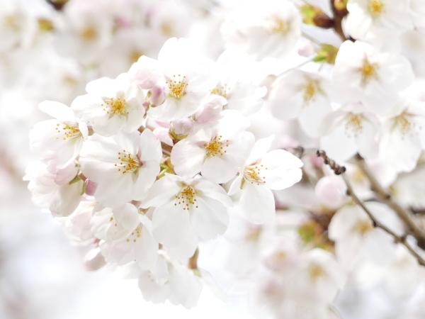 野川の桜_a0351368_21245208.jpg