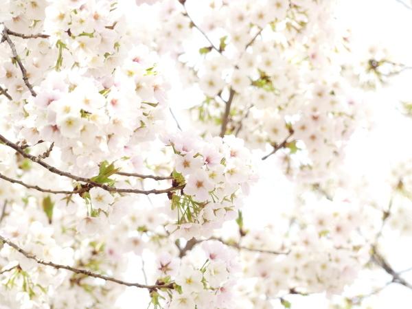 野川の桜_a0351368_21255471.jpg