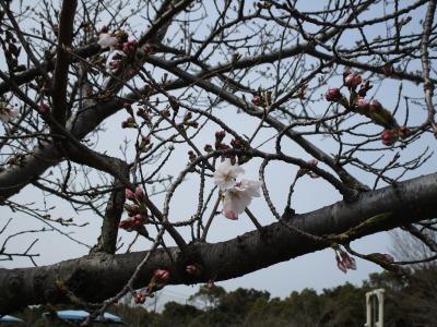 富浜緑地・中川口緑地 桜開花情報_d0338682_15442010.jpg