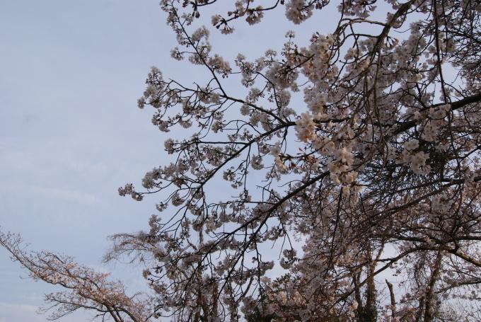 柞原八幡宮『桜』開花宣言 ③_f0191383_08103969.jpg