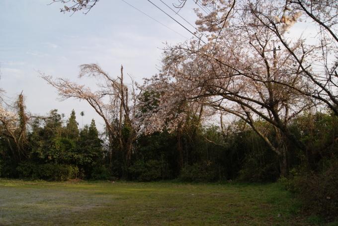 柞原八幡宮『桜』開花宣言 ③_f0191383_08111974.jpg