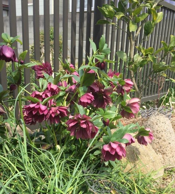 荒庭にも春の訪れ_e0385587_22493471.jpeg