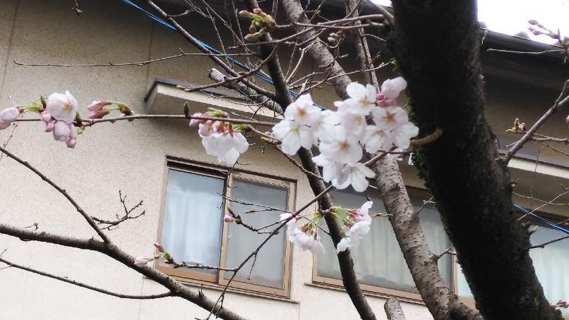 桜咲く なんて季節に..._f0237788_21365203.jpg