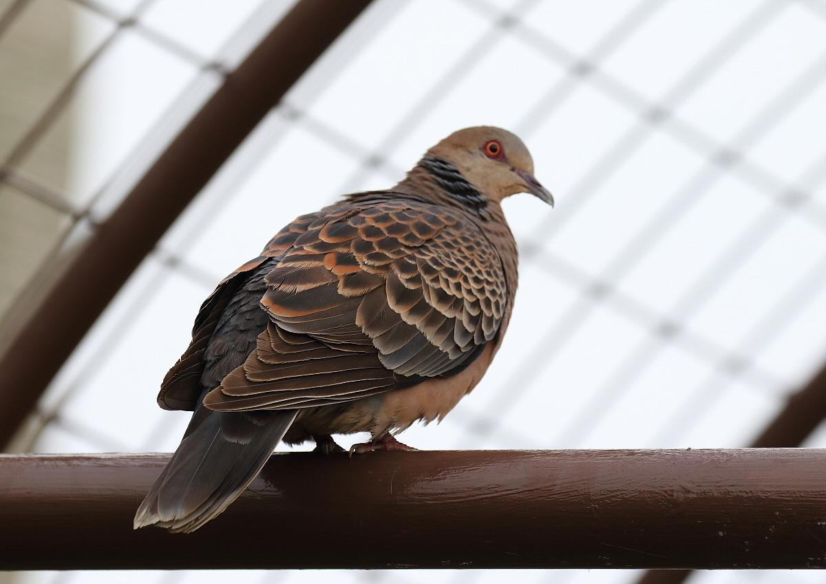 宮古島の野鳥-1_c0113597_14293273.jpg