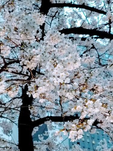 花冷え、桜_a0057402_21082660.jpg
