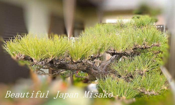 松の剪定ひと段落~・゚☆、・:`☆・・゚・゚☆。。_c0067206_18564011.jpg