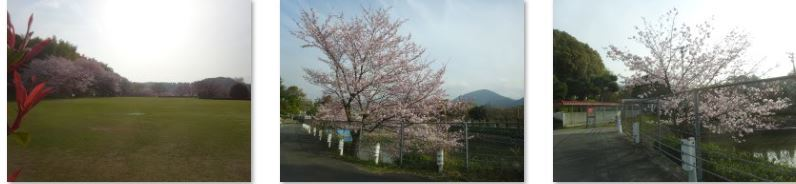 西条市 小松中央公園、吉田河原、久妙寺の桜巡り3分咲と追記で見頃の満開…2019/3/29_f0231709_02533376.jpg
