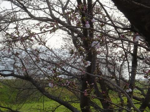 西条市 小松中央公園、吉田河原、久妙寺の桜巡り3分咲と追記で見頃の満開…2019/3/29_f0231709_02560980.jpg