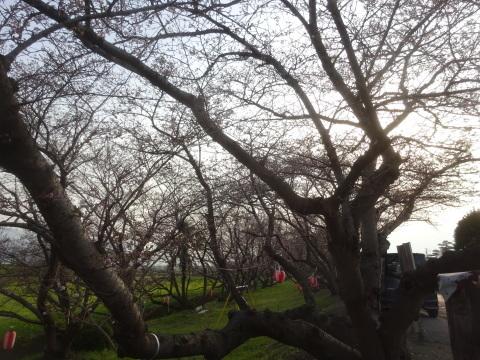 西条市 小松中央公園、吉田河原、久妙寺の桜巡り3分咲と追記で見頃の満開…2019/3/29_f0231709_02571192.jpg