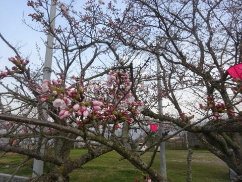 西条市 小松中央公園、吉田河原、久妙寺の桜巡り3分咲と追記で見頃の満開…2019/3/29_f0231709_02594072.jpg