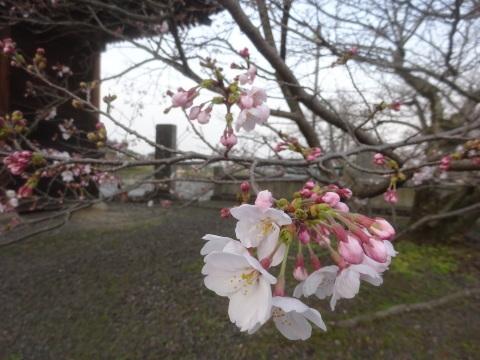 西条市 小松中央公園、吉田河原、久妙寺の桜巡り3分咲と追記で見頃の満開…2019/3/29_f0231709_03004238.jpg