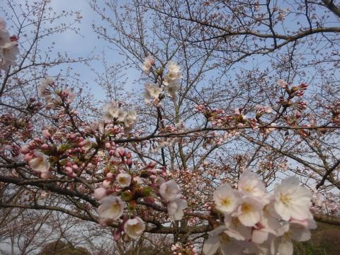 西条市 小松中央公園、吉田河原、久妙寺の桜巡り3分咲と追記で見頃の満開…2019/3/29_f0231709_03053066.jpg