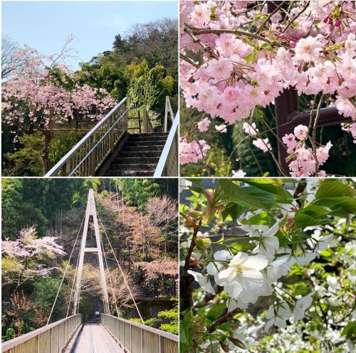 当館の桜が見頃を迎えました(2019年3月30日)_c0201012_14133535.jpg