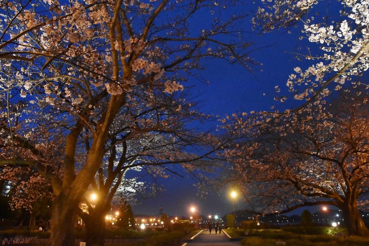 桜 2019 ヴェルニー公園 4_d0065116_22283492.jpg
